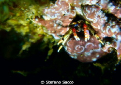 A very tiny crab... by Stefano Sacco